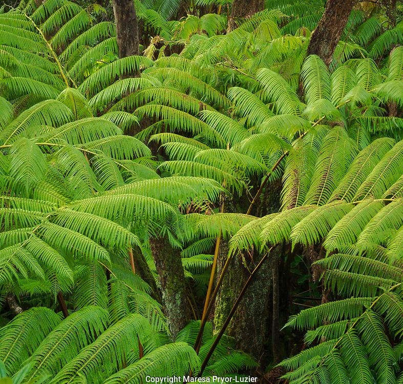 Tree ferns,(Cibotium glacum) forest, Volcano, Hawaii