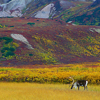 Caribou grazing in Denal National Park Alaska.