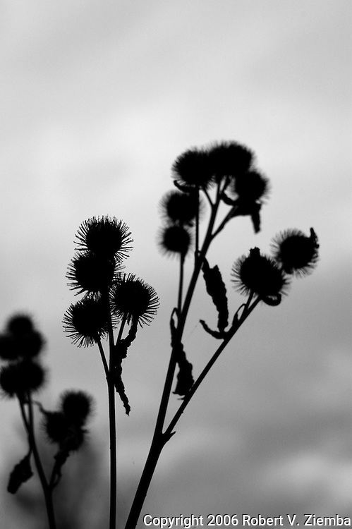 """Thistle""-A minimal black and white image of a group of thistles in shallow focus showing the barbs in a silhouette."