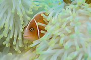Pink Anemonefish (Amphiprion perideraion) in sea anemone that has been bleached, or lost its natural pigmentation, by warm water.