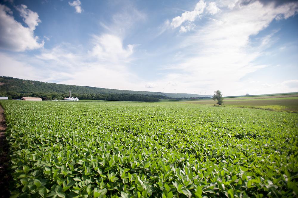 soybean field<br /> Pennsylvania