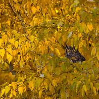 Great horned owl in cottonwood, Bozeman, Montana, Fall