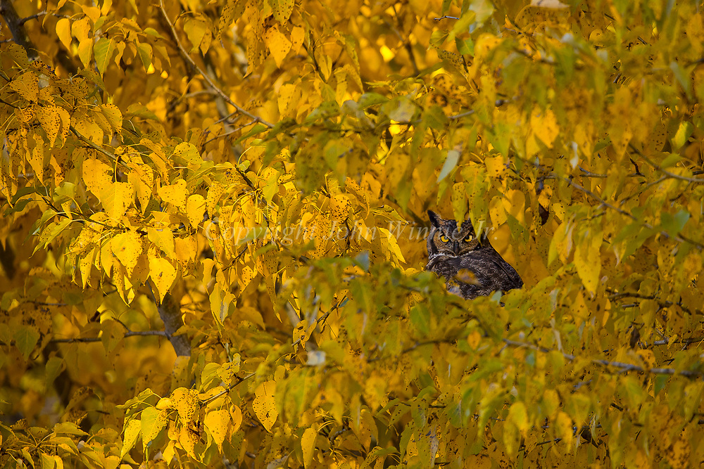 Great horned owl in cottonwood, Bozeman, Montana, Fall