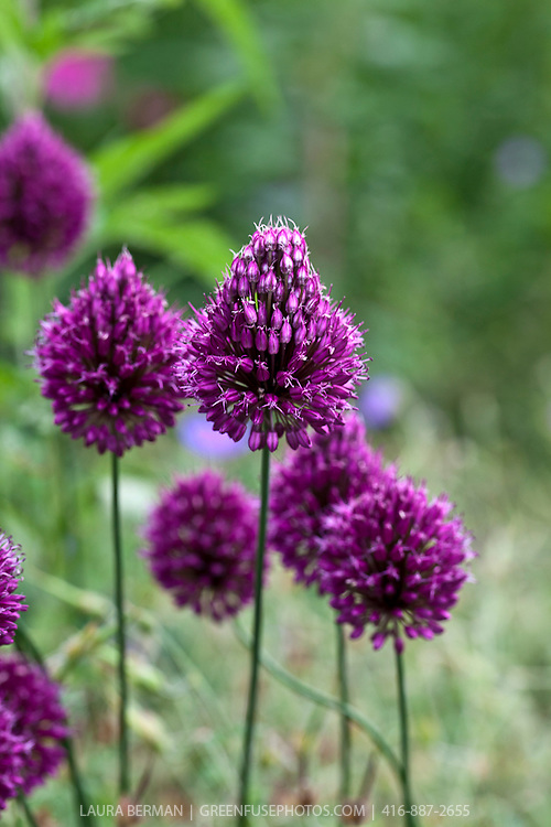 The large purple flowers of the Drumstick allium, a member of the ornamental onion family (Allium sphaerocephalon)