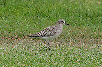 Black-bellied Plover photo Hawaii
