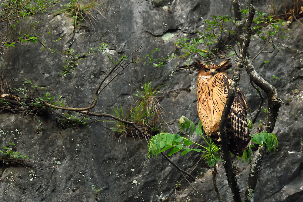 Brown fish owl, Bubo or Ketupa flavipes, Tangjiahe National Nature Reserve, NNR, Qingchuan County, Sichuan province, China