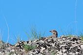 Misc. Upland Game Birds