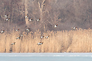Canvasbacks, Aythya valisineria, Detroit River, Ontario, Canada