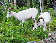 Dall Sheep (Orvis dalli) young rams feeding on lush summer growth in the mountains along Turnagain Arm, Chugach State Park.