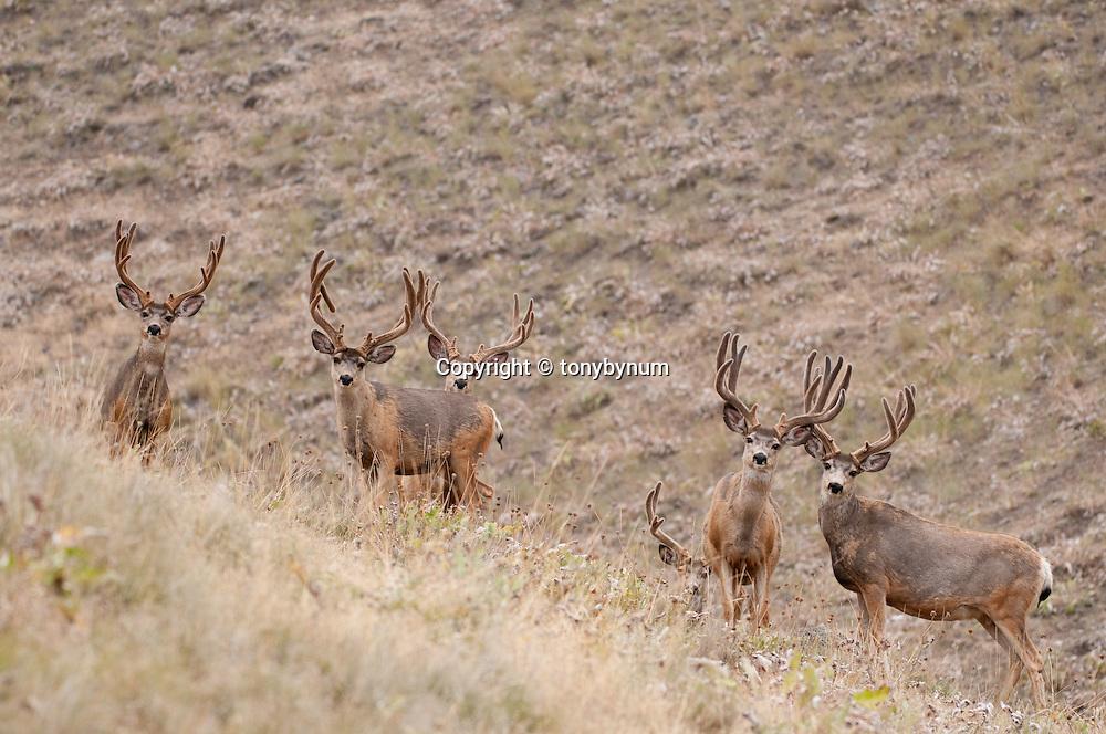 mule deer buck summer, velvet antler mule deer