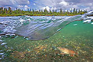 Arctic Grayling<br /> <br /> Patrick Clayton/Engbretson Underwater Photography