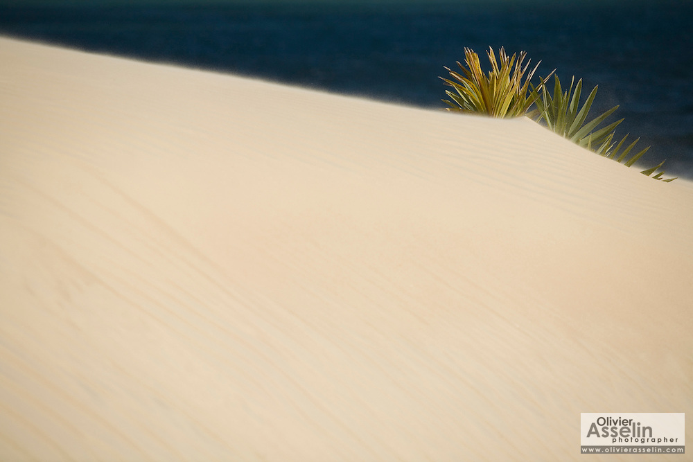 Plant growing on sand dune, Lamu, Kenya, Africa