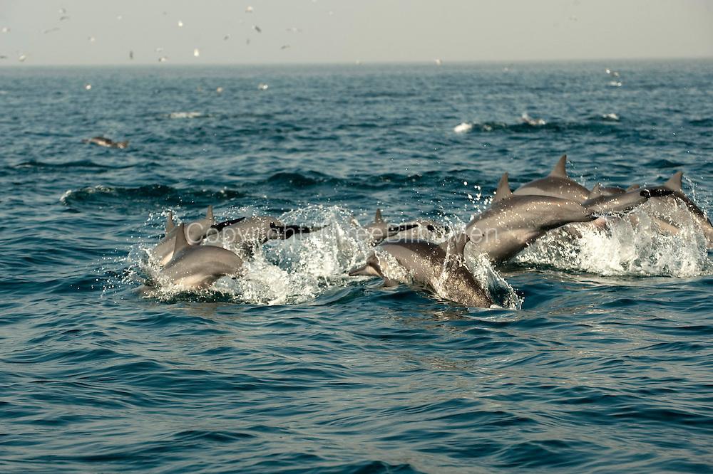 Dolphins off the coast of Kalpitiya.
