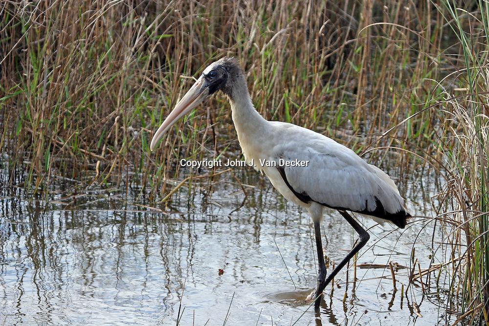 Wood Stork walking left in profile, Everglades National Park, Florida