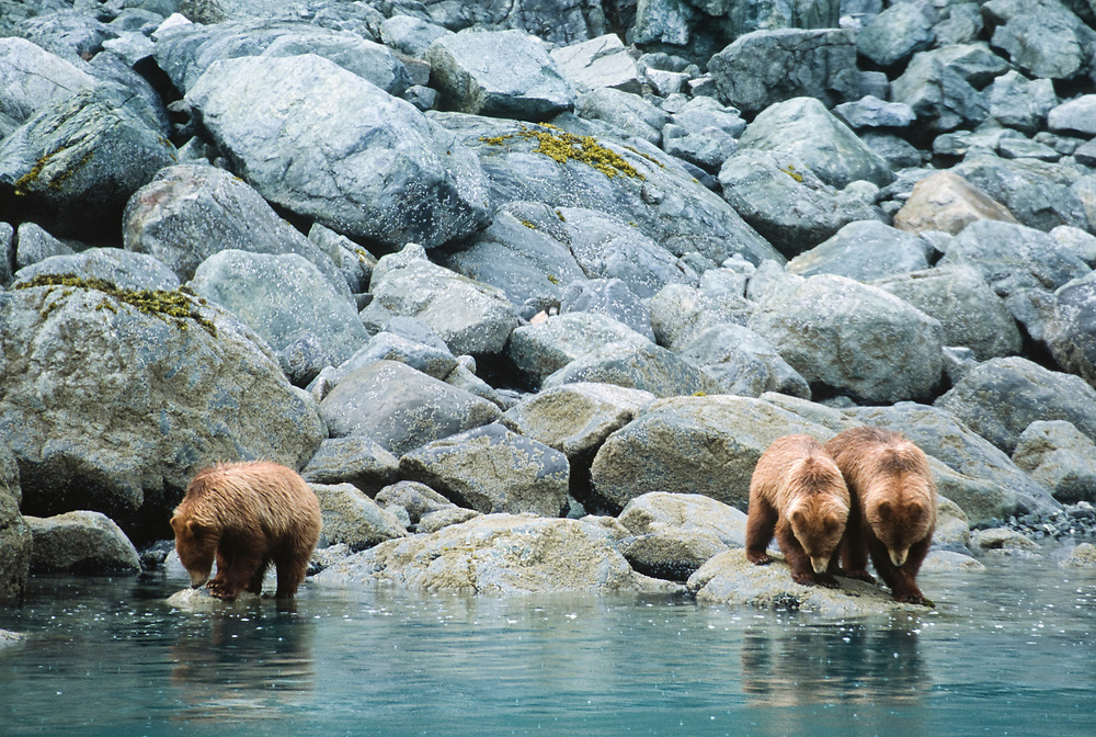 Alaska. Glacier Bay NP. A group of grizzly bears scouring the coastal waters for fish.