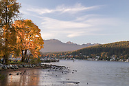 Sunset lighting up a Bigleaf Maple Tree (Acer macrophyllum) on a fall day at Rocky Point Park in Port Moody, British Columbia, Canada.  Rocky Point Park has a popular recreational pier, boat launch, outdoor pool, and hiking trails.
