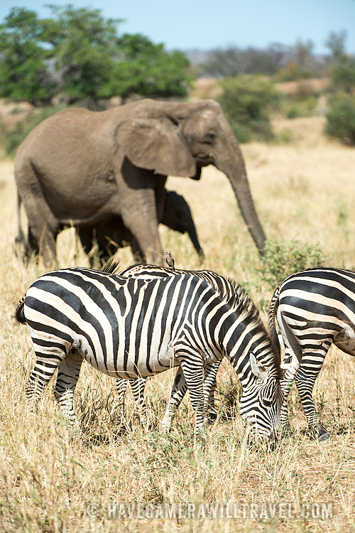 Elephants and zebras at Tarangire National Park in northern Tanzania not far from Ngorongoro Crater and the Serengeti.