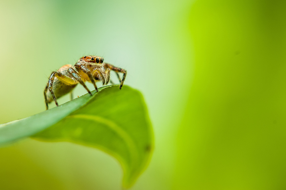 Stock photograph of a yellow, brown and black striped jumping spider (Cosmophasis sp.) in West Papua, Indonesia. The green hues of the jungle dominate the image and place the spider in its environment.
