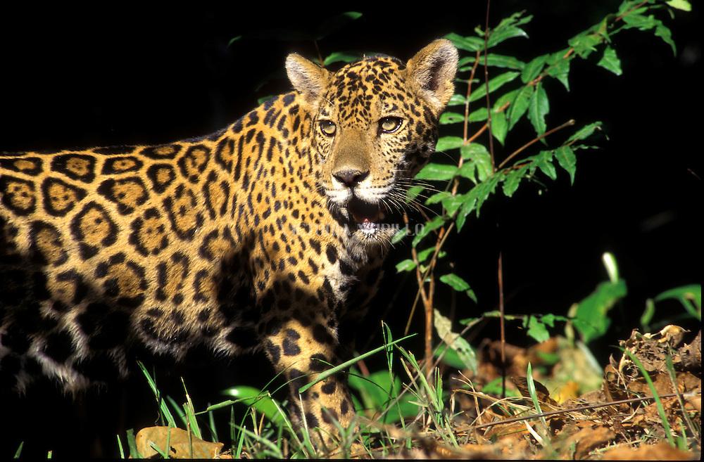 El jaguar, yaguar o yaguaretéN 1 (Panthera onca) es un carnívoro félido de la subfamilia de los Panterinos y género Panthera y la única de las cuatro especies actuales de este género que se encuentra en América. <br /> <br /> El hábitat de P. onca incluye las selvas húmedas de Centro y Sudamérica, zonas húmedas abiertas y de forma estacional inundadas, y praderas secas. De entre estos hábitats, prefiere el bosque denso;42 este félido ha perdido terreno más rápidamente en las regiones más secas, como la pampa argentina o las praderas áridas de México y el suroeste de los Estados Unidos.1 Puede vivir en bosques tropicales, subtropicales y caducifolios secos.<br /> <br />  Está estrechamente relacionado con el agua y a menudo prefiere vivir al lado de ríos, pantanales y selvas densas con mucha vegetación que le permiten asediar a sus presas.<br /> Las poblaciones de este gran félido se encuentran actualmente en declive.  El animal está catalogado como especie casi amenazada por la Unión Internacional para la Conservación de la Naturaleza (UICN), lo que quiere decir que podría estar amenazado de extinción en un futuro próximo.<br /> ©Alejandro Balaguer/Fundación Albatros Media.