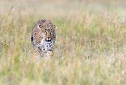 Leopard (Panthera pardus) from Maasai Mara, Kenya.