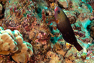 Ringtail Wrasse, Oxychellinus unifasciatus, (Streets, 1877), Initial Phase, Lanai Hawaii
