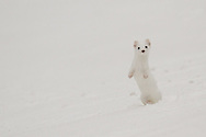 Barely visible in a December snowstorm, a long-tailed weasel, in his winter-white coat, emerges from a snowbank. When in this color-phase, these weasels are often referred to as ermine.