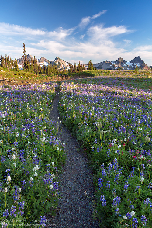Lupines and other wildflowers surround the Lakes Trail on Mazama Ridge in Mount Rainier National Park, Washington State, USA