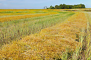 Canola crop<br /> Lang<br /> Saskatchewan<br /> Canada