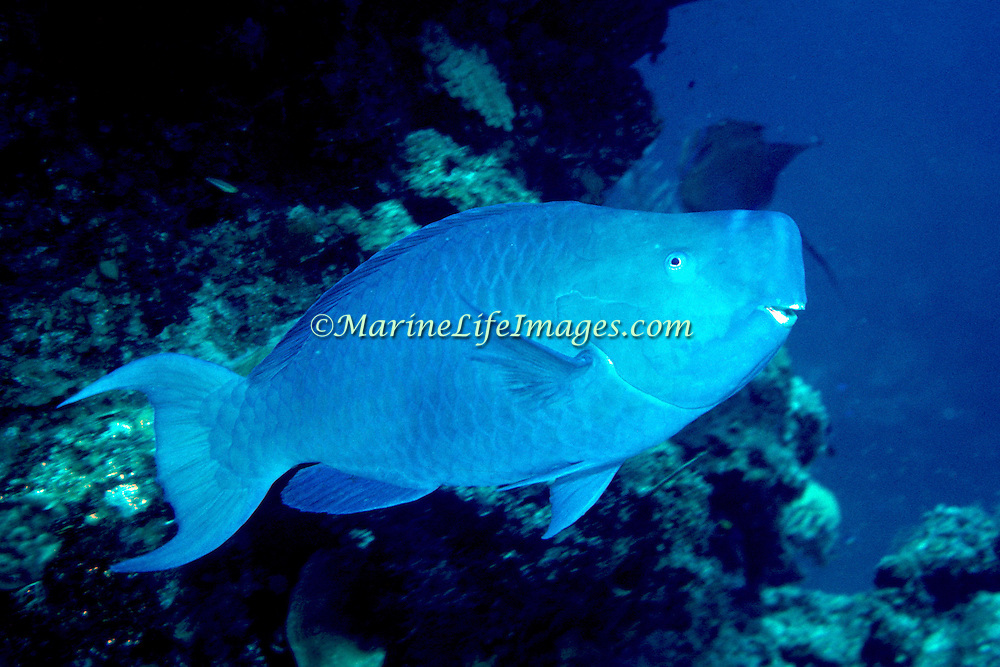 Blue Parrotfish feed over reefs and adjacent areas scraping algae from hard substrates in Tropical and Subtropical West Atlantic; picture takenGrand Cayman.