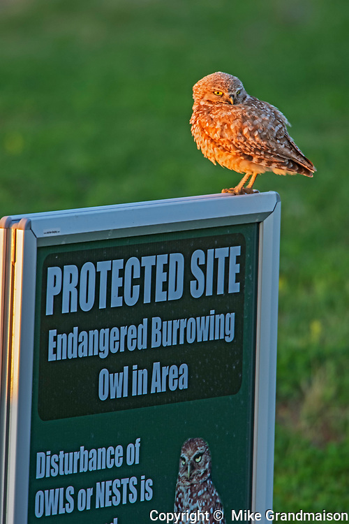 Burrowing Owl (Athene cunicularia) on sign  in grasslands, Grasslands National Park, Saskatchewan, Canada