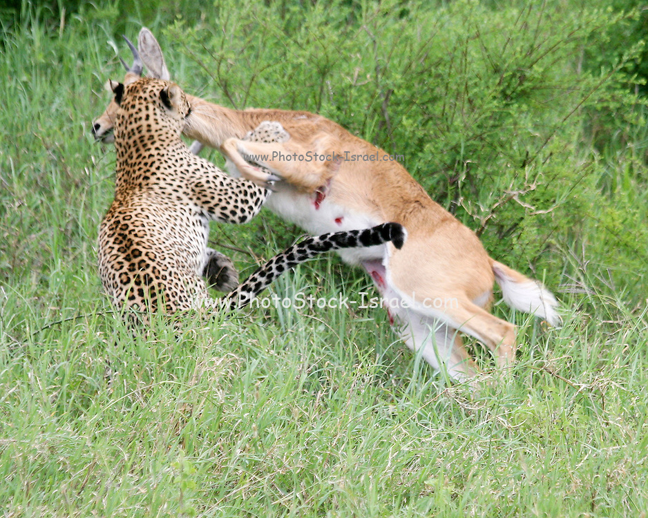 Africa, Tanzania, Serengeti National Park, Leopard (Panthera pardus) Hunts an Impala (Aepyceros melampus) at the moment of the kill,