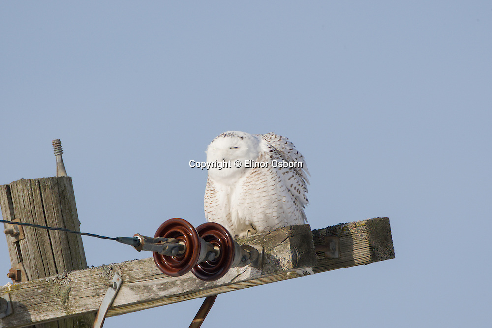Snowy Owl in morning sun, ready to preen