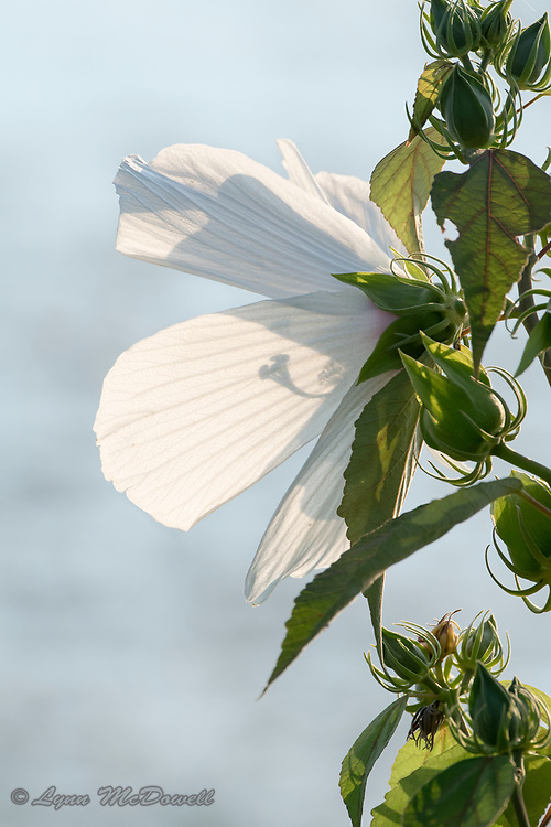I loved how the light created a shadow in the flower petals.  Bombay Hook NWR, Delaware