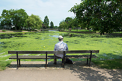 (c) Licensed to London News Pictures. 13/06/2014. Essex, UK. Southchurch Park, Southend on Sea. The boating lake favoured by model boat enthusiasts has been blighted by a green algae invasion. The local Unitary Authority of Southend are carrying out tests on it. It is believed to be sea Lettuce. Plans are afoot to ride the lake of this growth. Photo credit Simon Ford/LNP