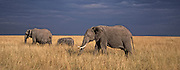 Elephant family walks threw the high Savannah grass.