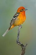 Flame-colored Tanager - Piranga bidentata - male