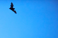 Bat in Flight at Dusk. Summer Nature in New Jersey. Image taken with a Nikon D3s and 400 mm f/2.8G II lens (ISO 12800, 400 mm, f/2.8, 1/320 sec). Raw image processed with Capture One Pro 6, Nik Define 2, and Photoshop CS5.