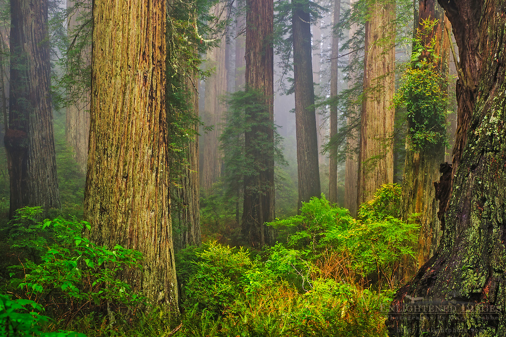 Redwood forest and fog, Redwood National and State Parks, Del Norte County, California