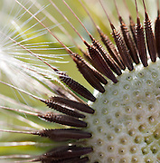 A closeup of a dandelion with its seeds.
