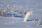 Arctic fox (Vulpes lagopus) leaping after prey