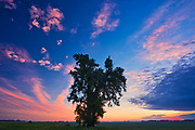 Plains cottonwood at sunset<br />Dugald<br />Manitoba<br />Canada