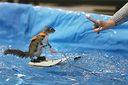 Toronto, ON, Canada - <br /> Twiggy the Water Skiing Squirrel gets in some practice runs before her shows at the Toronto International Boat Show that runs January 8-17 at the Enercare Centre . at the Canadian National Exhibition in Toronto. Twiggy is an Eastern Gray squirrel. The Best family Louann and her son Chuck Jr. have been doing these shows for decades. This is Twiggy VIII, there is a Twiggy IX, they share shows. The squirrels always wear lifejackets as water safety is a theme of the show, <br /> ©Exclusivepix Media