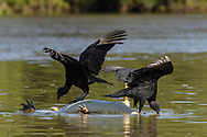 Two black vultures (Coragyps atratusin) are feeding on a dead yacare caiman (Caiman yacare),  floating in the Rio Paraguay, Pantanal, Mato Grosso, Brazil