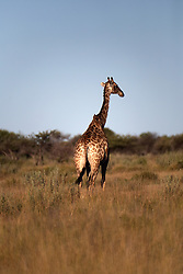 NAMIBIA ETOSHA 30APR14 - Angolan giraffe  near Namutoni, Etosha National Park, Namibia.<br /> <br /> <br /> <br /> jre/Photo by Jiri Rezac<br /> <br /> <br /> <br /> © Jiri Rezac 2014