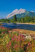 Fireweed (Epilobium sp.) <br />Kananaskis Country<br />Alberta<br />Canada