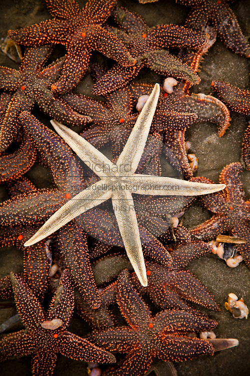 A grey sea star (Luidia clathrata) on top a group of small-spine sea stars (Echinaster spinulosus) at the Isle of Palms beach near Charleston, SC.