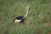 Kenya, Samburu National Reserve, Kenya, Grey Crowned Crane (Balearica regulorum)