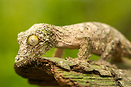 Mossy leaf-tailed gecko (Uroplatus sikorea) on a piece of bark in eastern Madagascar.
