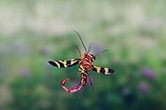 Common Scorpionfly (Panorpa nuptialis) - male in flight<br /> TEXAS: Travis Co.<br /> Brackenridge Field Station; Austin<br /> 10-Nov-2010<br /> J.C. Abbott