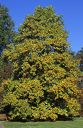 Liriodendron tulipfera - tulip tree